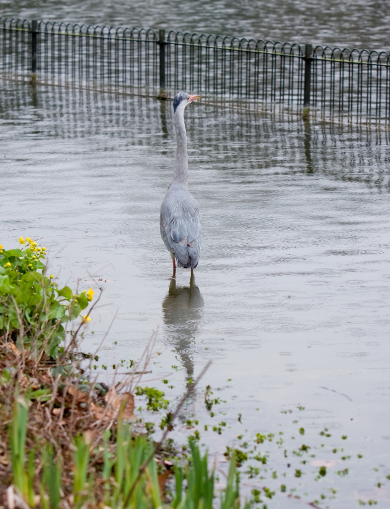 heron bird animal by roughcollie dreamstime