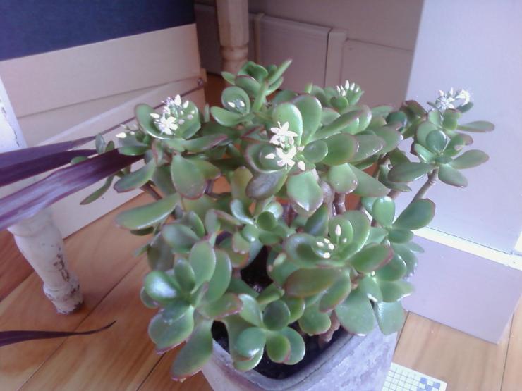 Jade blooms
