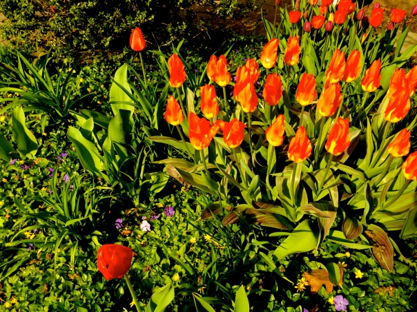 Indira Ganesan, Cambridge Tulips, 2013