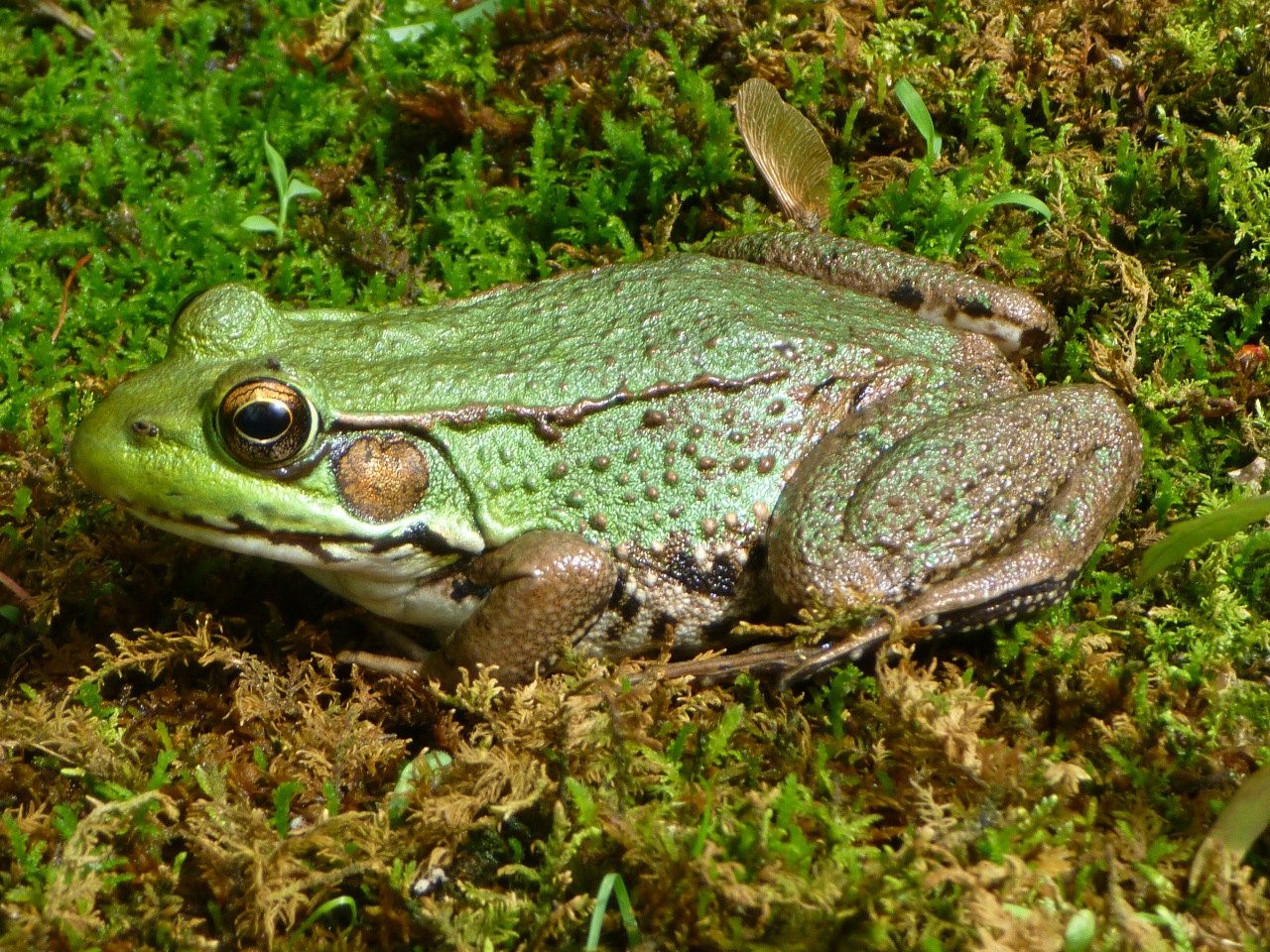 Northern_Green_Frog_-_Tewksbury,_NJ