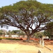 Indira Ganesan, Ordinary Tree, 2014