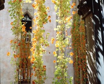 Hanging Nasturiums at Isabella Stewart Gardner Museum