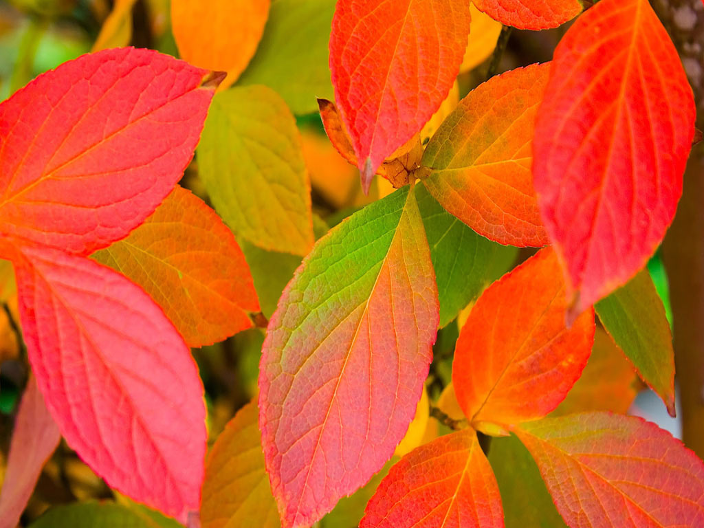 red-autumn-leaves-free-beautiful-wallpaper-download-for-your-desktop-20140809182600-53e667b84982c
