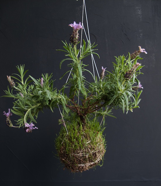 Lavender-looks-like-exotic-plant-when-hung-string-garden