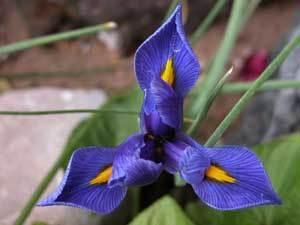 http://www.thriftyfun.com/tf/Gardening/Bulbs/Growing-Miniature-Iris-Dwarf-Iris-.html