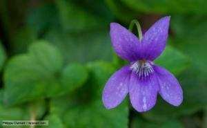 http://www.bbc.co.uk/nature/life/Viola_(plant) by Phillipe Clement.