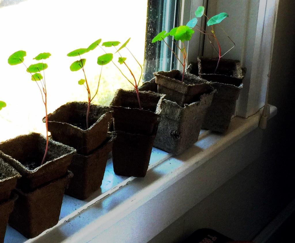 Nasturium seedlings
